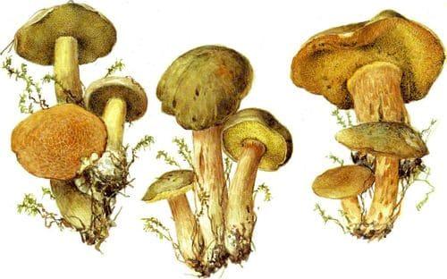 съедобные грибы Моховики