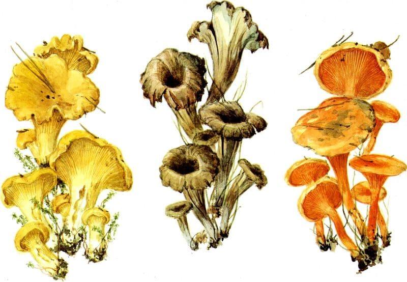 фото маленькие лисички грибы