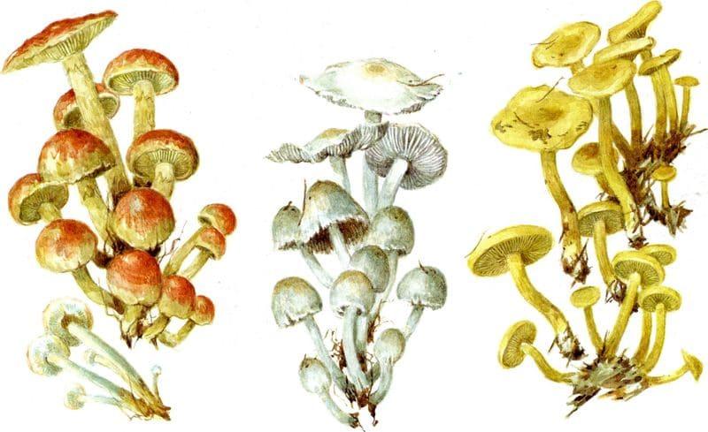 Ядовитые грибы грибы двойники