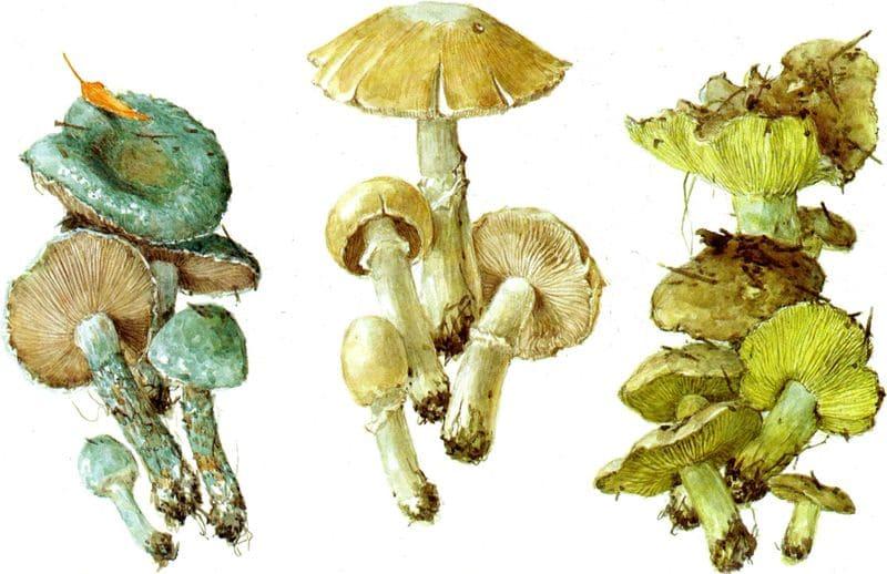 фото зеленуха гриб
