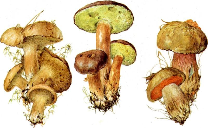 польский гриб фото ложный