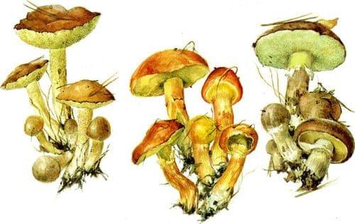 съедобные грибы Маслята