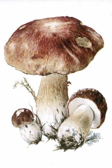 Шляпка белого гриба 8-25 см, сначала полушаровидная, затем выпуклая и даже плоская.  Окраска шляпок зависит от того...