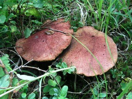 Олений гриб - плютей олений