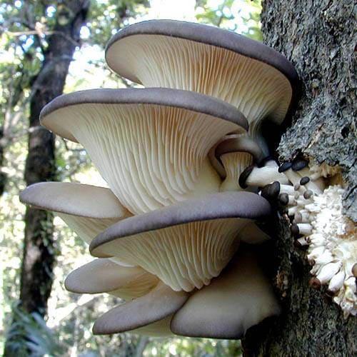 грибы на березе фото и описание