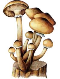 как выглядит гриб опёнок фото