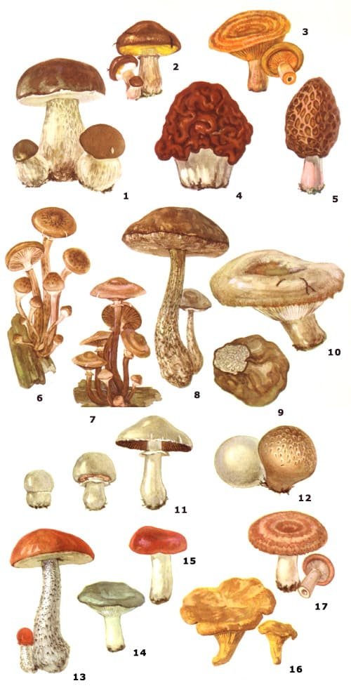 Съедобные грибы от несъедобных и