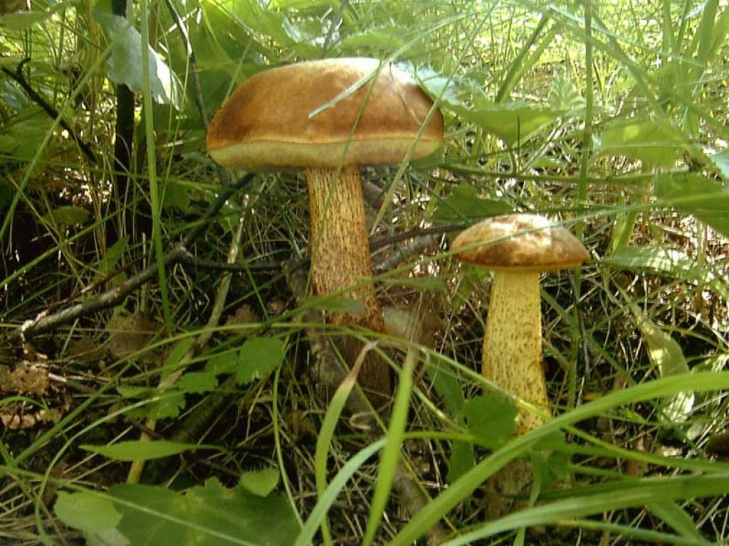 подберезовики грибы фото