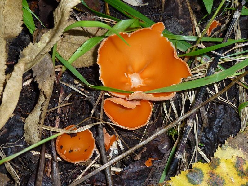 оранжевые грибы фото растут кучками нас, актеров, читали