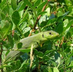 Балканская зеленая ящерица