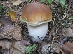 Березовый белый гриб