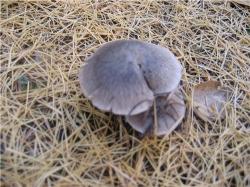 Серые грибочки