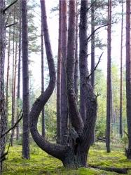 А вот такие елки