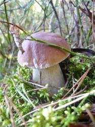 А вот и белый гриб