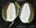 Веселка обыкновенная (Phallus impudicus)