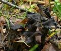 Серая лисичка,вороночник (кратереллус) рожковидный