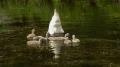 Мать учит своих малышей на небольшом озерце