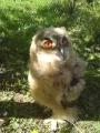 Птенец большой ушастой совы