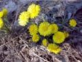 Мать-и-мачеха - весна пришла