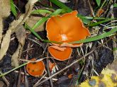 Пецица оранжевая