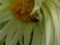 Труженница-пчела