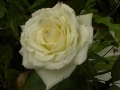 Роза хороша