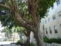 Дерево с воздушными корнями