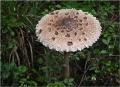 Зонтик пестрый